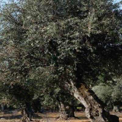Hundred years old olive tree